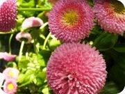 rosapetliten.jpg