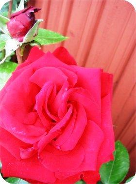 rose1liten.jpg