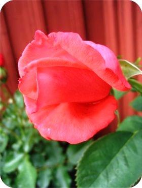 rose2liten.jpg